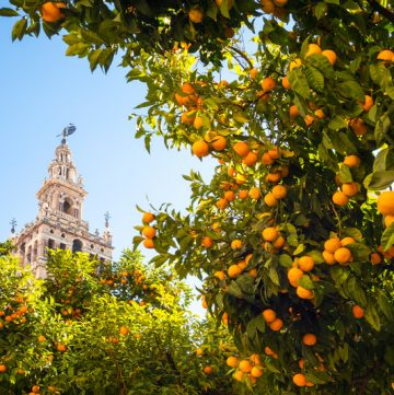 Spain, Andalusia, Seville, the Cathedral bell tower seen from the garden courtyard